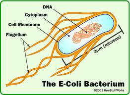 Uborkában bujkálo E. coli