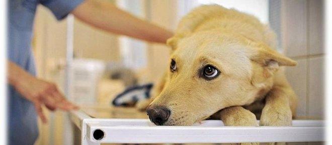 A kutyák rettegett betegsége: a babézia