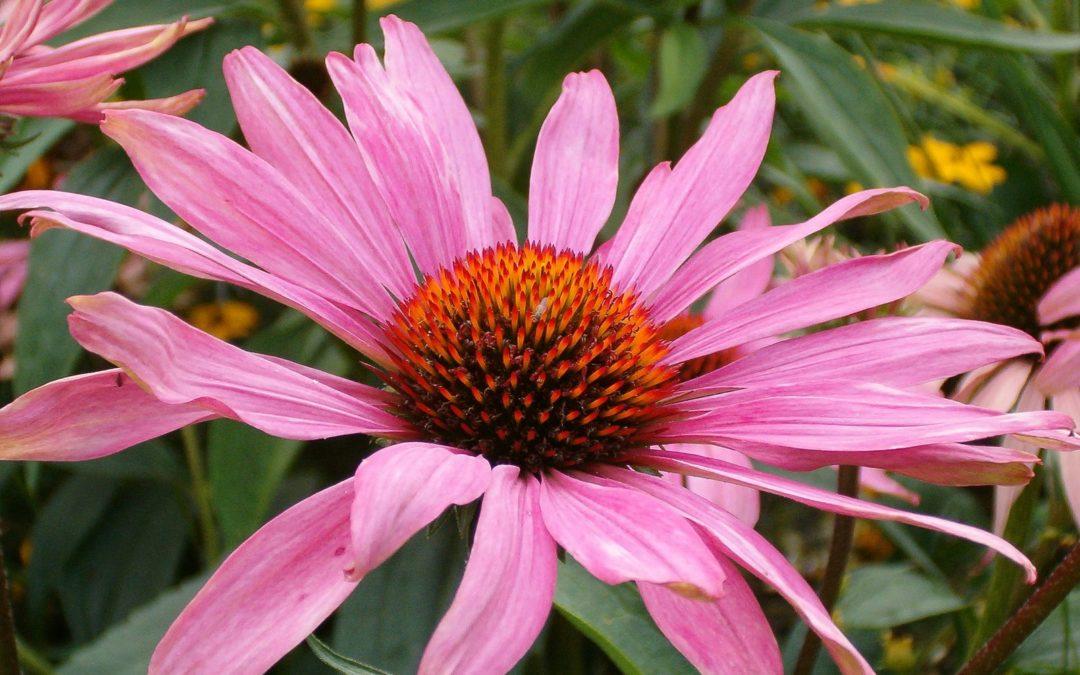 Az év gyógynövénye az Echinacea
